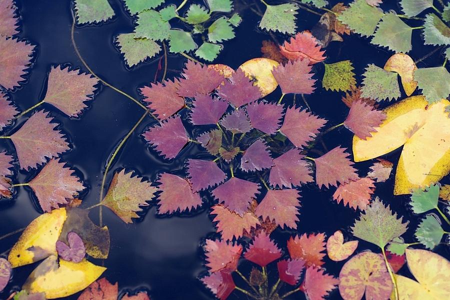 Kotewka orzech wodny