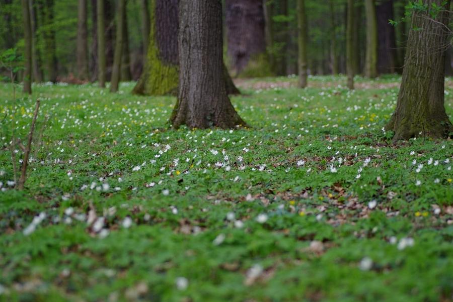 Lasy grądowe