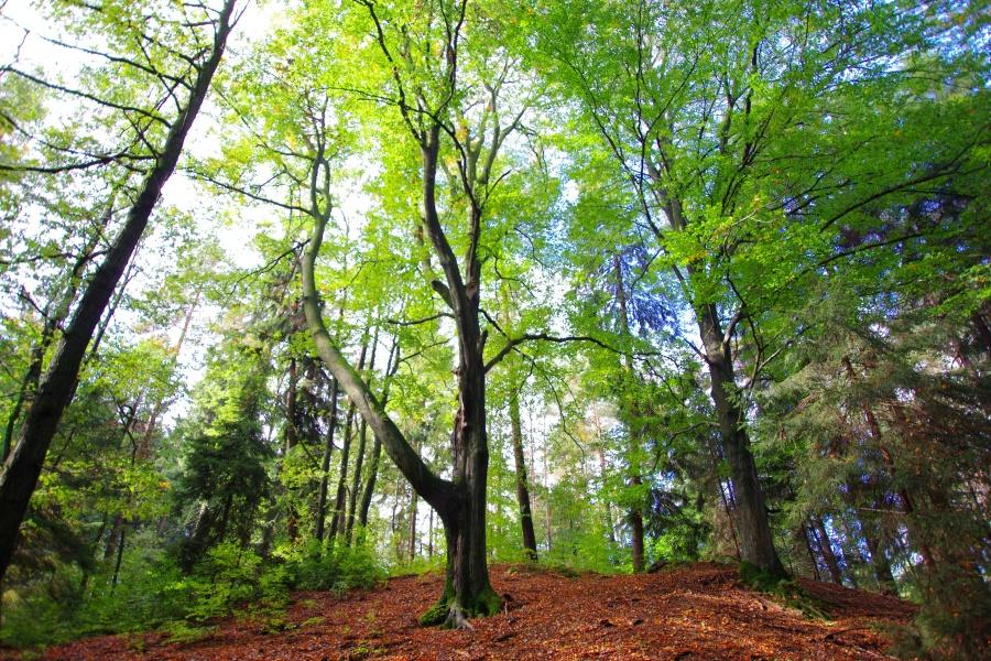 Pomniki Przyrody na Pogórzu Kaczawskim cz.III – Leszczyna
