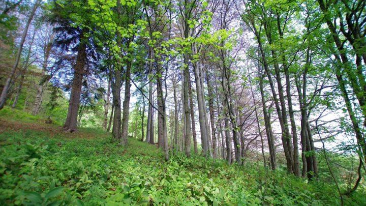 Górskie Jaworzyny Ziołoroślowe