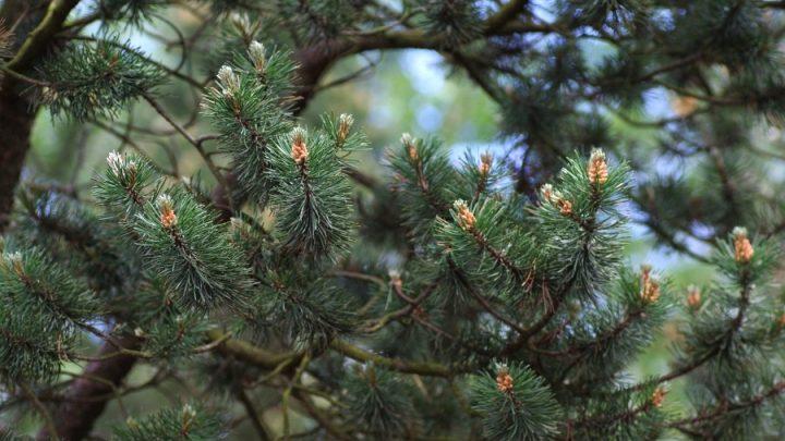 Sosna drzewokosa